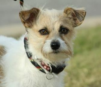 Jack Russell Terrier Mix Dog for adoption in Tulsa, Oklahoma - Agnes