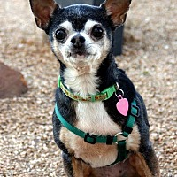 Adopt A Pet :: Gigi - Dallas, TX
