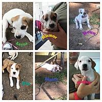 Adopt A Pet :: The Rocking R litter - HARRISBURG, PA