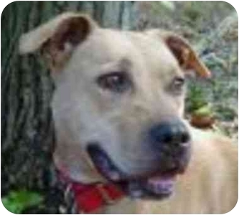 American Pit Bull Terrier Mix Dog for adoption in Eatontown, New Jersey - Daisy