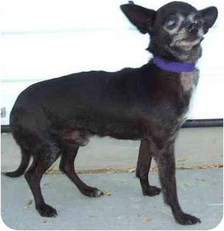 Chihuahua Dog for adoption in Provo, Utah - TASSO