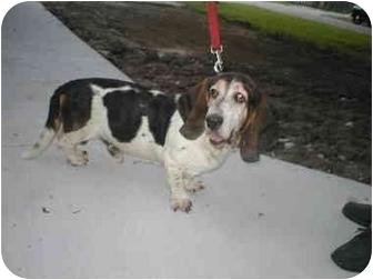 Basset Hound Dog for adoption in Vail, Iowa - BUDDY**CL**