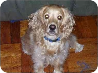 Cocker Spaniel Dog for adoption in Long Beach, New York - Buddy