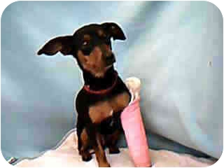 Dachshund/Miniature Pinscher Mix Dog for adoption in Van Nuys, California - Little Girl