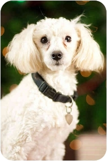 Poodle (Miniature) Dog for adoption in Portland, Oregon - Powder