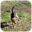 Photo 2 - Beagle Mix Puppy for adoption in Mahwah, New Jersey - Hunt