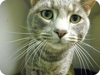 Domestic Shorthair Cat for adoption in Trenton, New Jersey - Todd (PetValu EWindsor)