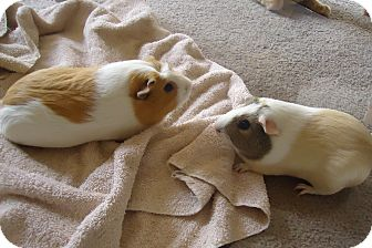 Guinea Pig for adoption in Grand Rapids, Michigan - Harley and Star