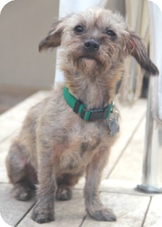 Terrier (Unknown Type, Small)/Chihuahua Mix Dog for adoption in Norwalk, Connecticut - Pixie-meet her!!!