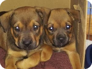 Rottweiler/Labrador Retriever Mix Puppy for adoption in Marlton, New Jersey - Grizz and Bear