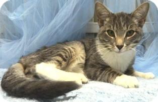 Domestic Shorthair Cat for adoption in Columbus, Nebraska - Gatsby