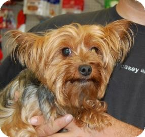 Yorkie, Yorkshire Terrier Mix Dog for adoption in Brooklyn, New York - Bella