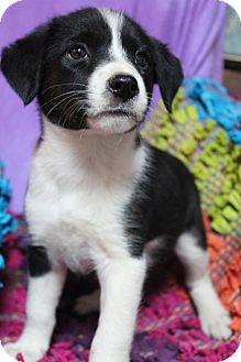 Border Collie/Beagle Mix Puppy for adoption in Greenville, Virginia - Willow
