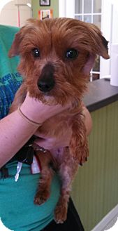 Yorkie, Yorkshire Terrier Mix Dog for adoption in Washington, D.C. - Piper