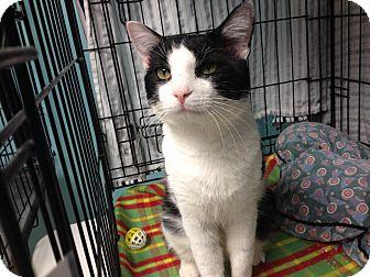 Domestic Shorthair Cat for adoption in Warwick, Rhode Island - James