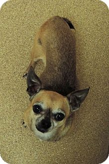 Chihuahua Dog for adoption in Brookings, South Dakota - Tiny