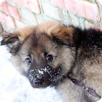 Keeshond/Border Collie Mix Puppy for adoption in Craig, Colorado - Dasher