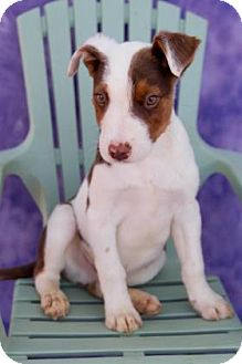 Cattle Dog Mix Puppy for adoption in Fort Lupton, Colorado - Rando