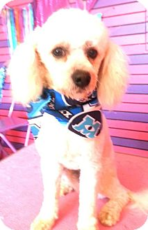 Poodle (Miniature) Mix Dog for adoption in San Diego, California - Wally