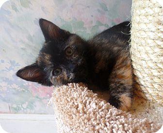 Domestic Shorthair Kitten for adoption in Lafayette, California - Jellybean
