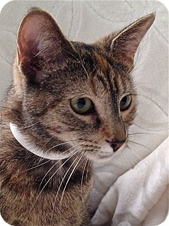 Domestic Shorthair Cat for adoption in South Haven, Michigan - Peanut