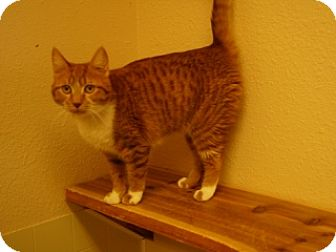 Domestic Shorthair Cat for adoption in Libby, Montana - Tabby