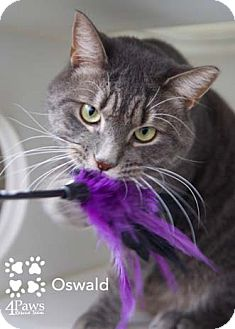Domestic Shorthair Cat for adoption in Merrifield, Virginia - Oswald