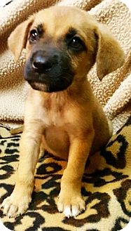 "Boxer/Labrador Retriever Mix Puppy for adoption in Oswego, Illinois - Boxadors ""Brook"""