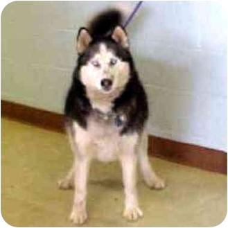 Husky Mix Dog for adoption in Various Locations, Indiana - Sky is Urgent