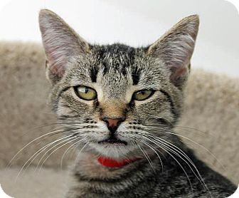 Domestic Shorthair Cat for adoption in Mountain Center, California - Rosemary