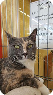 Calico Kitten for adoption in Edgewater, New Jersey - Bella