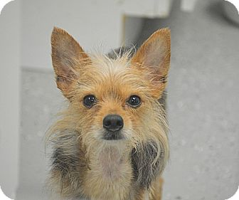 Yorkie, Yorkshire Terrier Mix Dog for adoption in San Leon, Texas - Blue