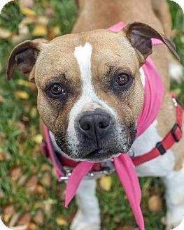 Bulldog/Boxer Mix Dog for adoption in St Helena, California - Rue
