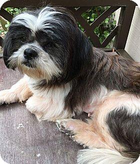 Shih Tzu Dog for adoption in San Diego, California - Luna