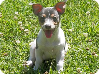 Rat Terrier Puppy for adoption in Clarksville, Tennessee - Dozer