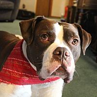 Bulldog Dog for adoption in Lancaster, Pennsylvania - Bennie
