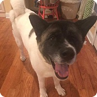 Akita Mix Dog for adoption in Windham, New Hampshire - Mika
