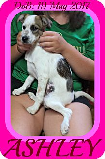 Brittany/Dachshund Mix Puppy for adoption in Manchester, New Hampshire - ASHLEY