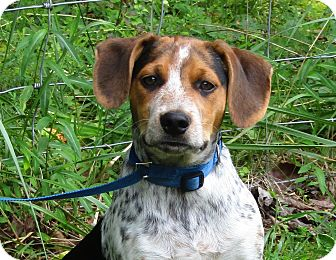 Pointer/Hound (Unknown Type) Mix Puppy for adoption in Hagerstown, Maryland - Samson