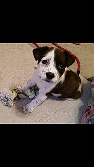 Labrador Retriever/Cattle Dog Mix Puppy for adoption in Houston, Texas - Libby