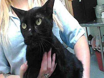 Domestic Mediumhair Cat for adoption in Albuquerque, New Mexico - FIDDLESTICKS
