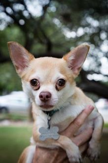 Chihuahua Mix Dog for adoption in Von Ormy, Texas - George