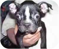Boston Terrier Puppy for adoption in Cole Camp, Missouri - Cory