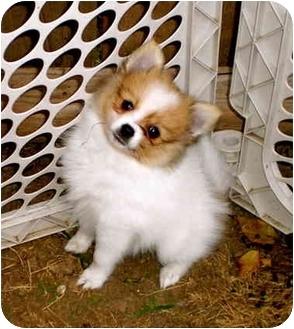 Pomeranian Puppy for adoption in Kokomo, Indiana - Bifi