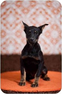 German Shepherd Dog/Doberman Pinscher Mix Puppy for adoption in Portland, Oregon - Ella