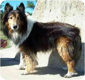 Sheltie, Shetland Sheepdog Dog for adoption in North Judson, Indiana - Chance