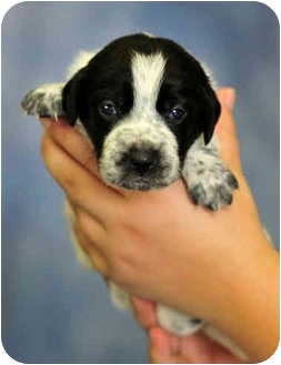Labrador Retriever Mix Puppy for adoption in Southport, North Carolina - Pam