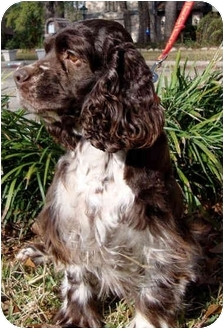 Cocker Spaniel Dog for adoption in Sugarland, Texas - Noelle