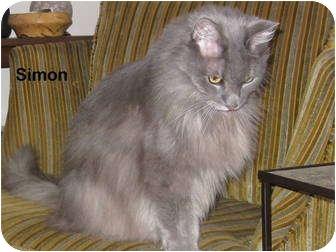 Domestic Longhair Cat for adoption in Portland, Oregon - Simon