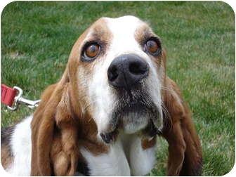 Basset Hound Dog for adoption in Portland, Oregon - Memphis